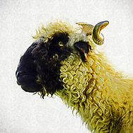 Profile portrait of a black faced sheep