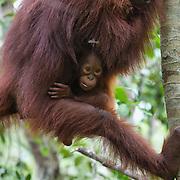 Orangutan (Pongo pygmaeus) mother with baby. Tanjung Puting National Park. Borneo