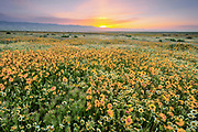 Tidy-tips, Coreopsis and Grasses at Sunrise, Carrizo Plain National Monument, California