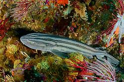 Poroderma africanum, Pyjama Katzenhai oder Gestreifter Katzenhai, Striped Cat shark or Pyjama shark, Porth Elizabeth, Suedafrika, Algoa Bay, Indischer Ocean, Porth Elizabeth, Südafrika, Suedafrika, Indischer Ocean