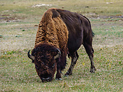 Bison. Badlands National Park, South Dakota, USA. The intricately carved cliff of the Badlands Wall constantly retreats as it erodes and washes into the White River Valley below.