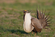 Greater sage grouse in Wyoming
