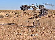 Israel, Negev Desert dead dry single tree