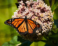 Monarch Butterfly feeding on a Milkweed Flower. Image taken with a Nikon 1 V3 camera and 70-300 mm VR lens.