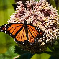 20210625-monarch