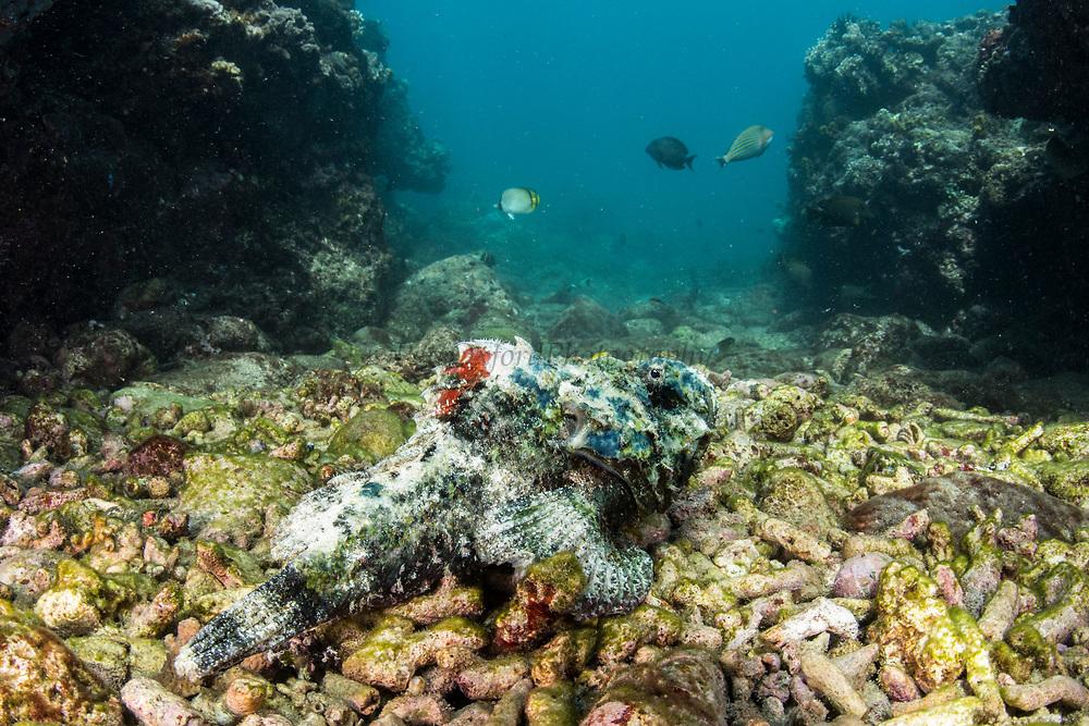 Devil Scorpionfish (Scorpaenopsis diabolus)<br /> Lesser Sunda Islands<br /> Indonesia