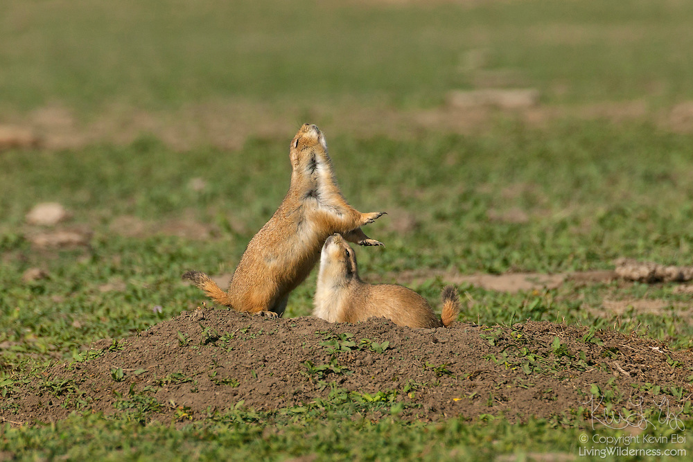 A black-tailed prairie dog (Cynomys ludovicianus) sniffs another at the entrance to its burrow in Badlands National Park, South Dakota. When prairie dogs encounter other prairie dogs in their territories, they sniff each other's perianal scent glands to make sure that they are from the same family group. Prairie dogs are very social and live in large colonies called prairie dog towns.