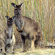 Western Gray Kangaroo, (Macropus fuliginosus) Pair. Kangaroo Island Australia.