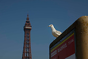 A seagull sits perched atop a sign provided by Blackpool council with the world famous Blackpool Tower in the background as temperatures in the country are expected to soar this week on 7th September, 2021 in Blackpool, United Kingdom. Temperatures in the UK are predicted to soar to highs of 29 degrees celsius, coinciding with a rise in daycation and staycation domestic tourism in the country as a result of Covid-19 precautions that make foreign travel increasingly costly and difficult.