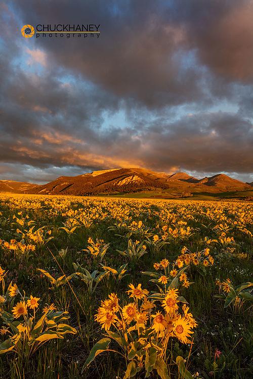 Vast field of arrowleaf balsomroot wildflowers along the Rocky Mountain Front Range near Augusta, Montana, USA