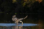 Ein Cocoireiher (Ardea cocoi) spiesst einen auf dem Wasser treibenden Fisch auf, Pantanal, Brasilien<br /> <br /> A cocoi heron (Ardea cocoi) spears a fish floating on the water, Pantanal, Brazil