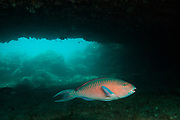 Blue-chin Parrotfish (Scarus ghobban) SUPERMALE<br /> off of Wolf Island in the northern archepelago<br /> Galapagos Islands<br /> ECUADOR.  South America<br /> RANGE: These fish are common to occasional in the entire archipelago and north to Baja as well as tropical Indo-Pacifific<br /> They inhabit rocky, boulder strewn reefs and slopes. Most common on reefs with reef building stony corals. They feed by scaping algae from rocks and corals.