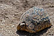 Leopard tortoise (Stigmochelys pardalis) from Maasai Mara, Kenya.