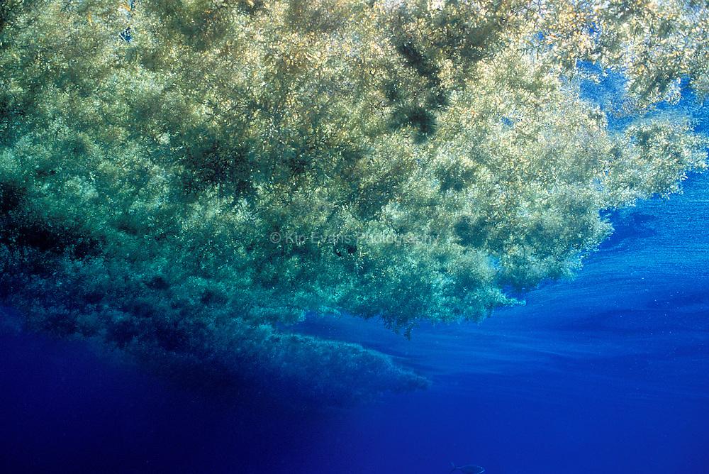 Sargassum - Gulf of Mexico