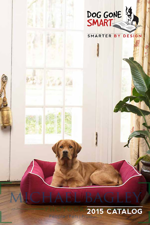 Cute yellow Labrador retriever dog sits in the Dog Gone Smart Lounger Bed.