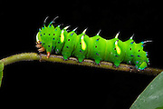 Regal Moth Caterpillar (Citheronia sp.)<br /> Yasuni National Park, Amazon Rainforest<br /> ECUADOR. South America<br /> HABITAT & RANGE: