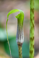 Close Up of a cala flower at Tongbiguan nature reserve, Dehong prefecture, Yunnan province, China