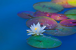 Lily Pads and a Blooming Water Lily Glow In Vibrant Blue Waters