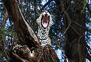Leopard (Panthera pardus) roaring on a tree. Photographed at Serengeti National Park, Tanzania