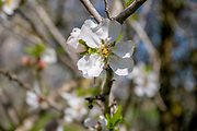 Close up of Almond (Prunus dulcis) blossoms. Photographed in Israel in March