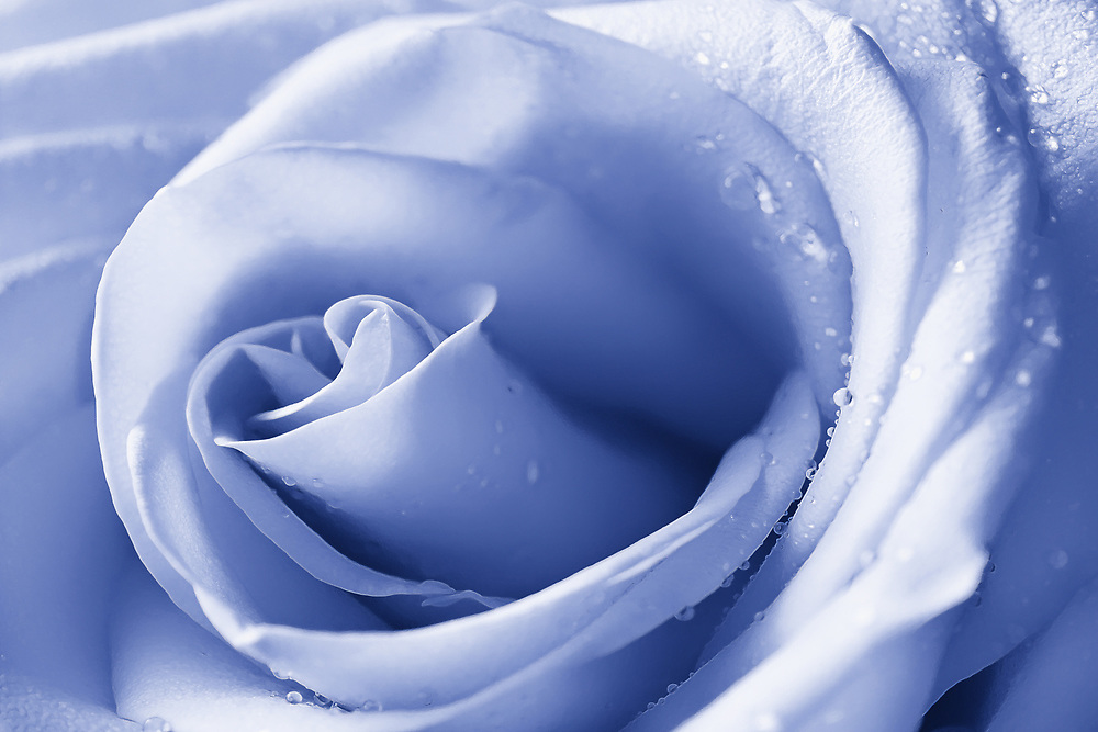A close up macro shot of a muted blue rose with a purple tint with morning dew droplets on the soft petals.
