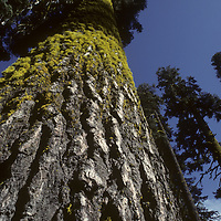 Towering firs near Glacier Point, with lichens on north side of trunks.