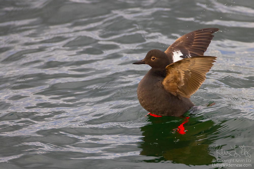 A pigeon guillemot (Cepphus columba) stretches its wings while resting on the water of Puget Sound near Edmonds, Washington. The piegon guillemot is found on coastal waters of the North Pacific and dives to feed on small fish and marine intervertebrates that it finds near the sea floor.