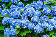 Summer Bloom, Hydrangea,  Gin Lane, Southampton, NY