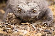 Common toad (Bufo bufo). Dorset, UK.