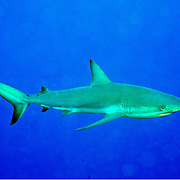 Reef Shark most common shark crusing coral reefs in Tropical West Atlantiic; picture taken San Salvador, Bahamas.