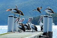Oceania, Australia; Australian; Tasmania;Tasman Peninsula, Tasman National Park, Remarkable Cave , Pelicans on pier