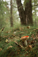 Russula aurea, or gilded brittlegill mushroom growing in a forest in Poland.