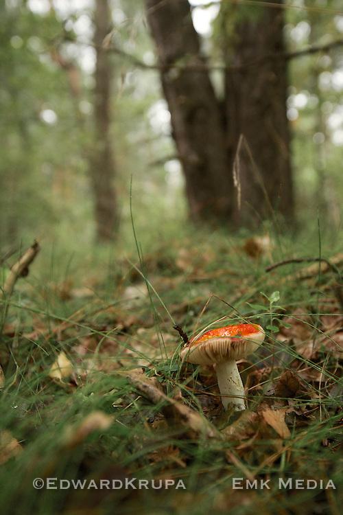 Russula aurea, or gilded brittlegill mushroom growing in a forest in Poland.