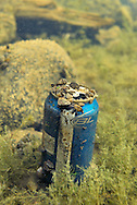Zebra Mussels attached to beer can<br /> <br /> Engbretson Underwater Photography