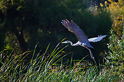 Great Blue Heron (Ardea herodias), Glendale Narrow, Los Angeles River, California, USA