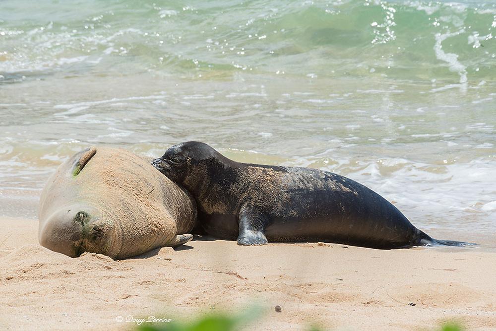 Hawaiian monk seal, Neomonachus schauinslandi ( Critically Endangered endemic species ), mother nursing month old pup, Kalaupapa, Molokai, Hawaii, USA