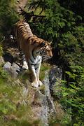 The tiger (Panthera tigris) is the largest cat species, reaching a total body length of up to 3.3 m and weighing up to 306 kg. It is the third largest land carnivore, behind only the polar bear and the brown bear. This picture is captured at Orsa Animalpark, Sweeden. I have added gentle paint effect in PhotoShop   Tigeren er den største kattedyr arten med en kroppslengde opptil 3,3 m og vekt opptil 306 kg. Det er det tredje største rovdyret, etter isbjørn og brunbjørn. Dette bildet er tatt i Orsa Bjørnepark i Sverige. Jeg har lagt til en anelse maleri effekt i Photoshop.
