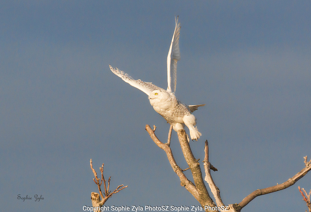 Snowy Owl Going Up