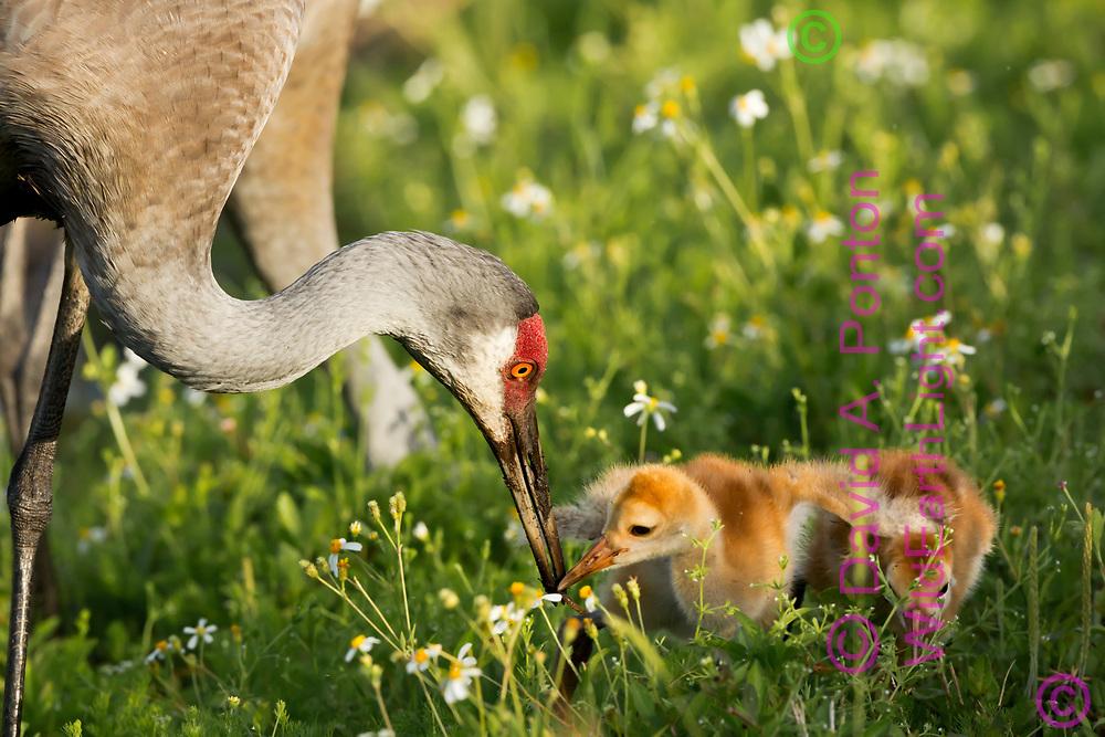 Sandhill crane adult feeds worm to colt, © David A. Ponton