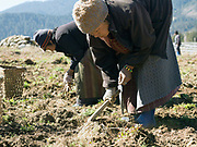 Farmers from Chubja harvest potatoes, Bhutan. Due to the decline of sheep farming, many farmers in Bhutan are turning to potatoes for the majority of their income.