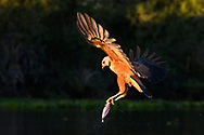 A black-collared hawk (Busarellus nigricollis) with a caught fish, Pantanal, Mato Grosso, Brazil