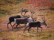Three bull caribou walking along the slope of Stony Hill, Denali National Park, Alaska.
