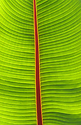 Close up abstract image of a banana leaf taken aginst the light at the botanical gardens, Funchal, Madeira Portugal