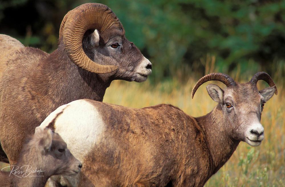 Family of bighorn sheep (Ovis canadensis), Jasper National Park, Alberta, Canada