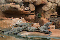 """20 years ago,"""" the Crocodile Farm of Pierrelatte"""" was opened by Eric and Luc Fougeirol. This site has seen several million visitors, making it the most visited tourist site in the Drôme and the second in Rhône-Alpes.In a landscaped greenhouse of 8000 m ² more than 450 animals evolve freely: crocodiles, giant tortoises of Seychelles and Galápagos (weighing from 80 to 150 kg) and tropical birds.The goal of Samuel Martin, the director, is to reach, in five years, the 4000 000 visitors by proposing more animals on a wider rangeWith the 29 permanent employees, the farm registered last year 285 000 entrances and a four million euro turnover.A new greenhouse of 1500 m ² has just been built to be able to welcome, next spring, snakes, lizards, fishes, birds and other aquatic tortoises.But the Crocodile Farm is more than a zoo: it is also a scientific research center on the reptiles, that collaborates with researchers of the whole world.To meet the demands of biological studies of French and foreign researchers, and many prestigious scientific institutions such as le College de France, the CNRS, and the National Museum of Natural History, the Crocodile Farm has established in 1998 a laboratory and a hatchery, allowing the establishment of numerous partnerships leading to the publication of articles in international scientific journals.Among them, Béatrice Thivichon-Prince, odontolgue of the University of Lyon examined the faculties of regeneration of the teeth of crocodiles. Indeed their teeth fall and grow again more of fifty times during their life. His department looks for applications has the human scale."""