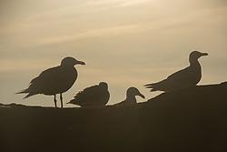Gulls at Kalaloch Beach 4, Olympic Peninsula, Washington, US