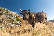 Balkan Cattle