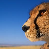 Africa, Kenya, Masai Mara Game Reserve, Flash close-up portrait of Adult Female Cheetah (Acinonyx jubatas) on savanna