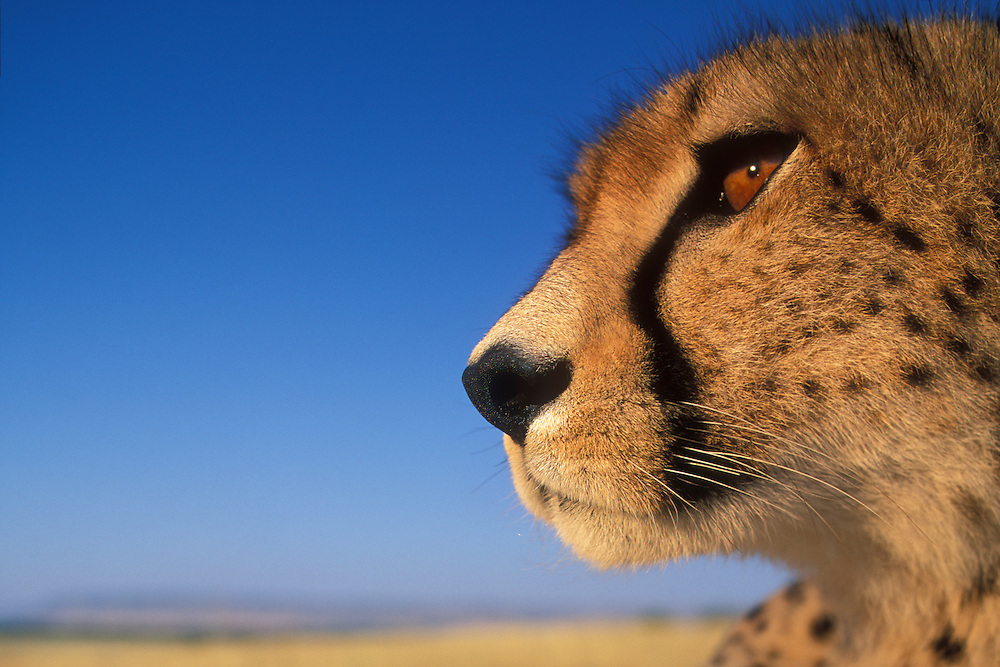 Africa, Kenya, Masai Mara Game Reserve, Flash close-up portrait of Adult Female Cheetah (Acinonyx jubatas) on savanna