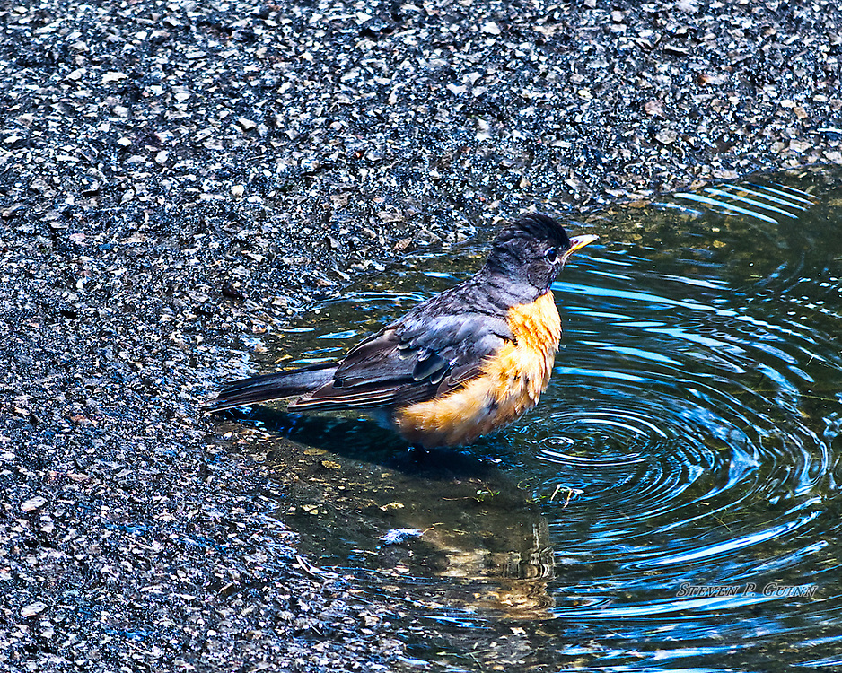 """I captured this image, as well as """"Cooling Off"""", of an American Robin in a puddle on July 23rd, 2017. I saw this American Robin bathing in a puddle in my driveway and photographed it just after it took a drink. The two elements that I like the most about this image are how the vividly blue sky above is reflecting in the ripples of the puddle, as well as the layers and fine details of the bird's wet feathers. I also like the sharply-defined texture of the wet asphalt with contrasting colors and tones.<br /> <br /> Printed on Hahnemühle Torchon paper. Limited to 300 productions per size.<br /> <br /> Framed prints are available in 20"""" x 16"""" and 30"""" x 24"""" sizes."""
